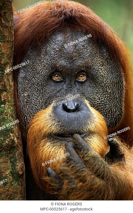 Sumatran Orangutan (Pongo abelii) twenty-six year old male, named Halik, touching lip, Gunung Leuser National Park, Sumatra, Indonesia