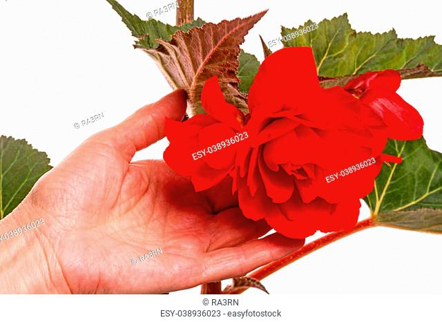 Begonia is a genus of perennial flowering plants in the family Begoniaceae. Isolated on white background