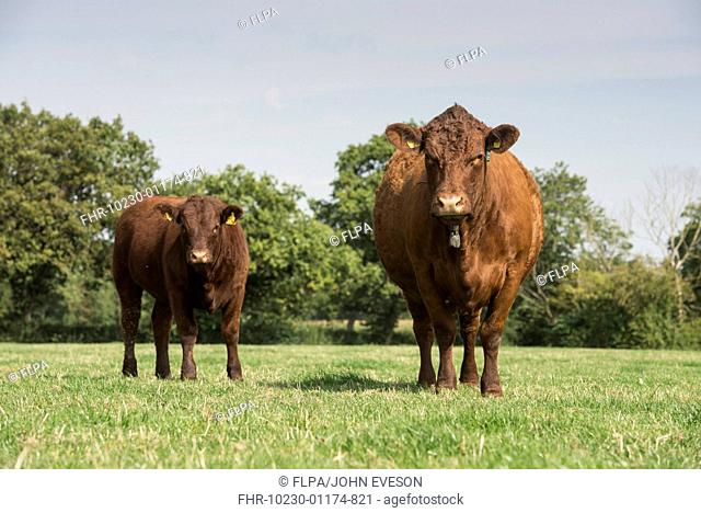 Domestic Cattle, Red Ruby Devon cow and calf, standing in pasture, Cheshire, England, September