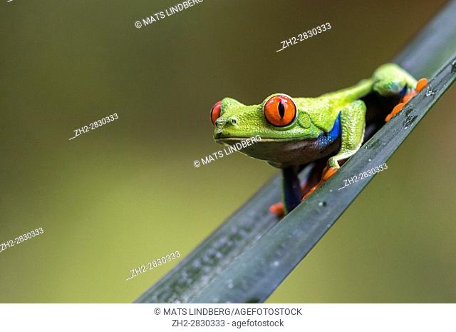 Red-eyed tree frog, Agalychnis callidryas, climbing on a leaf, looking in to the camera, Laguna del Lagarto, Boca Tapada, San Carlos, Costa Rica