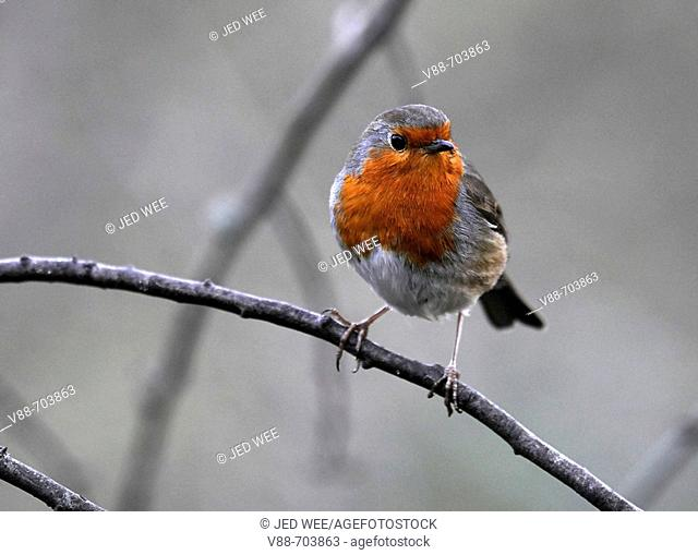European Robin (Erithacus rubecula) perched on a branch, Washington Wildfowl and Wetlands Trust, Tyne and Wear, England