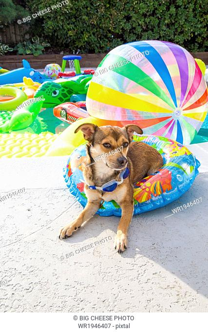 Dog sits in a pool ring at the edge of a pool