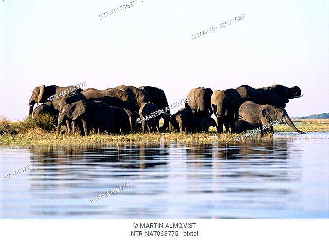 Elephants standing in the water