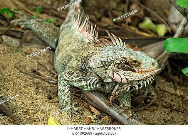 Green Iguana (Iguana iguana), St. Croix island, US Virgin Islands, USA