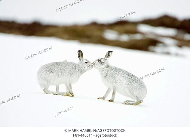 Mountain Hare (Lepus timidus) two animals in white winter pelage (coat) touching noses in form of greeting. Scotland