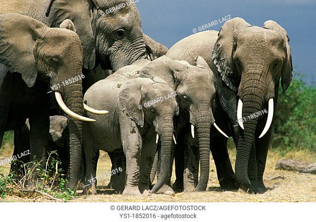 African Elephant, loxodonta africana, Herd Sleeping, Amboseli Park in Kenya