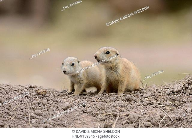 Two black-tailed prairie dog youngsters