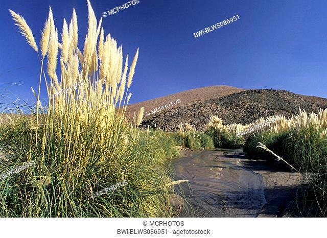 white pampas grass Cortaderia selloana, at Rio Purifica, Chile
