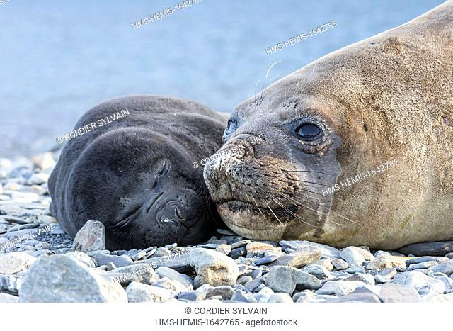 Antarctic, South Georgia Island, Stromness, Southern Elephant Seal (Mirounga leonina), mother and new born baby