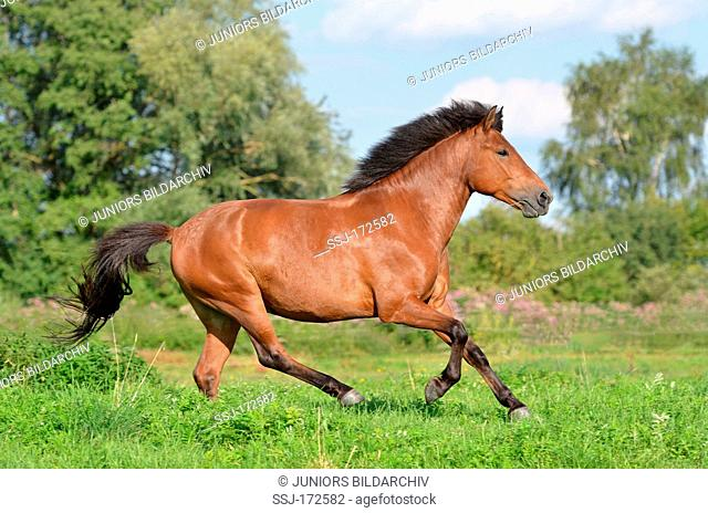 Hucul Pony, Carpathian Pony. Bay horse in a gallop on a meadow