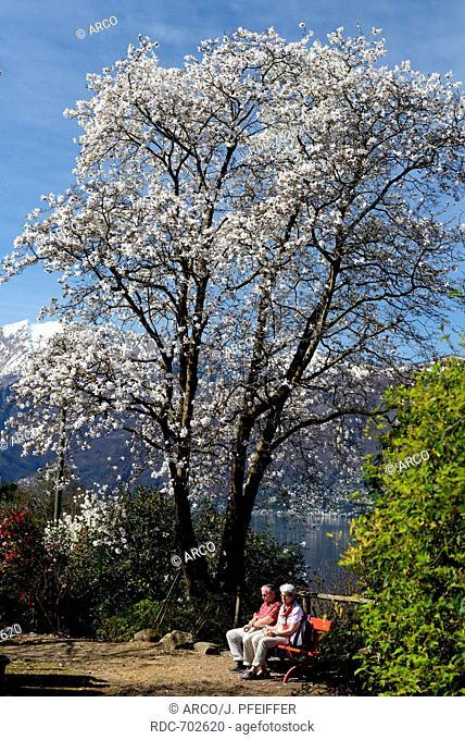 Blooming Magnolia, Ticino, Switzerland / /Magnolia spec.)