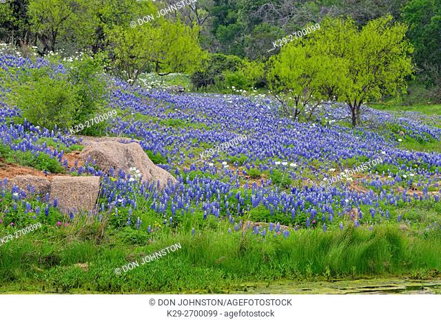 Flowering Bluebonnets, mesquite and rocks around Coal creek, Willow City Loop, Gillespie County, Texas, USA