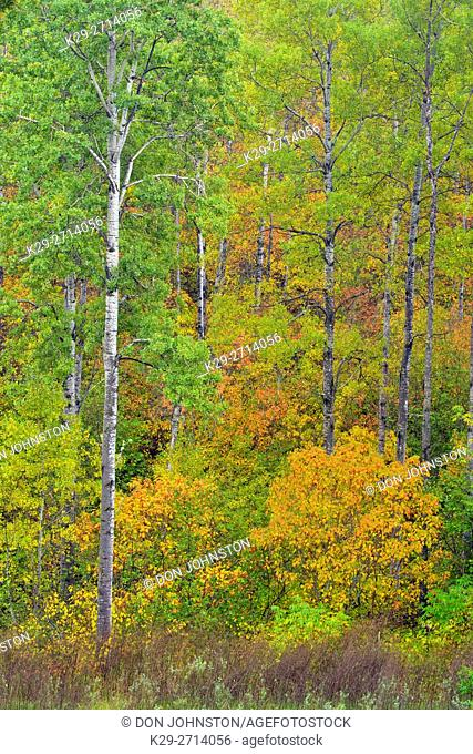 Early autumn foliage in the understory the understory of an aspen woodland, Thunder Bay, Ontario, Canada