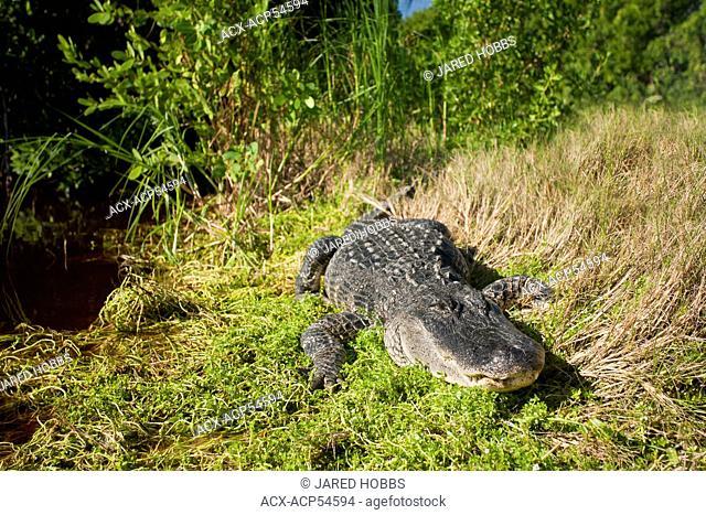 American alligator. Alligator mississippiensis, Everglades, Florida, USA