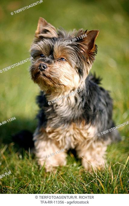 Mini Yorkshire Terrier
