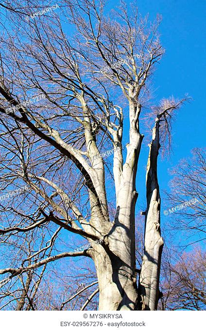 old beech tree with bare branches