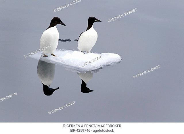 Thick-billed murre or Brünnich's guillemot (Uria lomvia) sitting on small ice floe, reflection in water, Spitsbergen, Norway