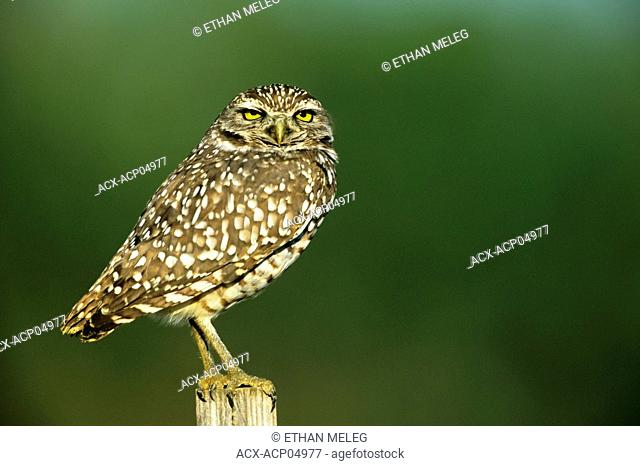 Burrowing Owl Speotyto canicularia, an endangered species in Canada