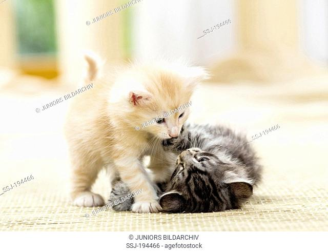 Norwegian Forest Cat. Two kittens playing on a carpet. Germany