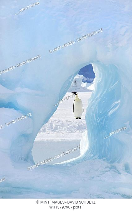 An adult Emperor penguin standing on the ice on Snow Hill island. Seen through an ice arch
