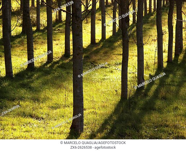 Pine tree plantation at Sant Celoni village countryside. Winter at Montseny Natural Park. Barcelona province, Catalonia, Spain