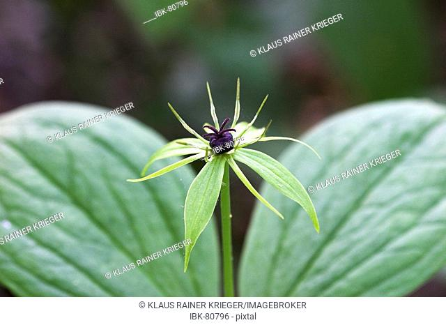 Paris quadrifolia, poisonous plant with four leaves and one black berry in the middle