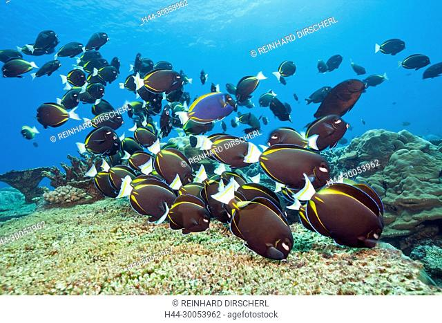 Shoal of Velvet Surgeonfish, Acanthurus nigricans, Christmas Island, Australia