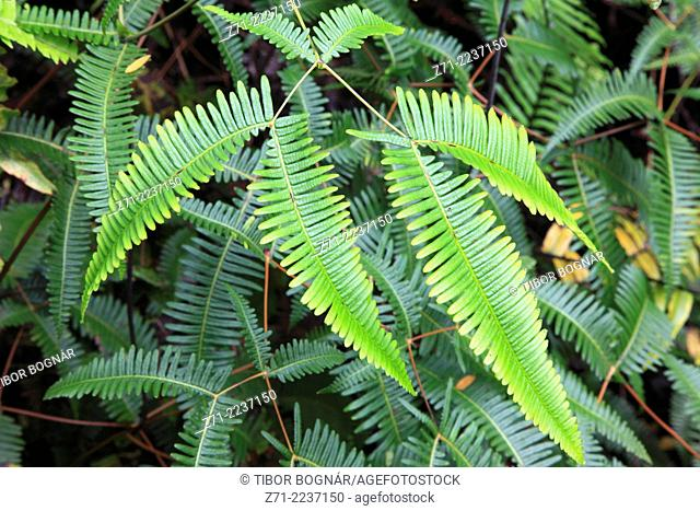 Hawaii, Big Island, Lava Tree State Monument, tropical rainforest, fern,