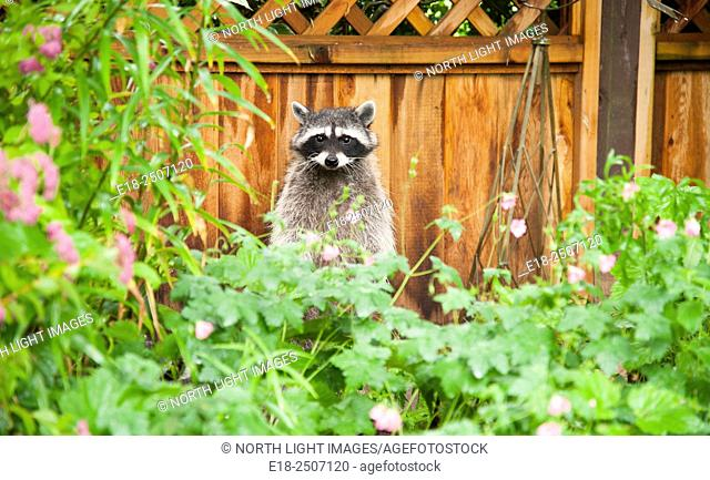 Canada, BC, Delta, Ladner. A raccoon stands up to look around in backyard residential garden