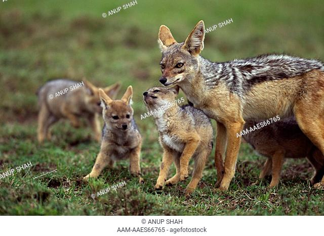 Black-backed jackal male with 5 week old pups (Canis mesomelas). Maasai Mara National Reserve, Kenya. Aug 2011