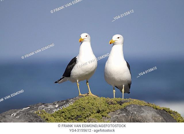 Cape Gull (Larus dominicanus), Gansbaai, South Africa