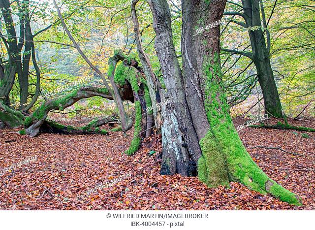 Decaying Beech (Fagus sylvatica) in autumn forest, primeval forest Sababurg, North Hesse, Hesse, Germany
