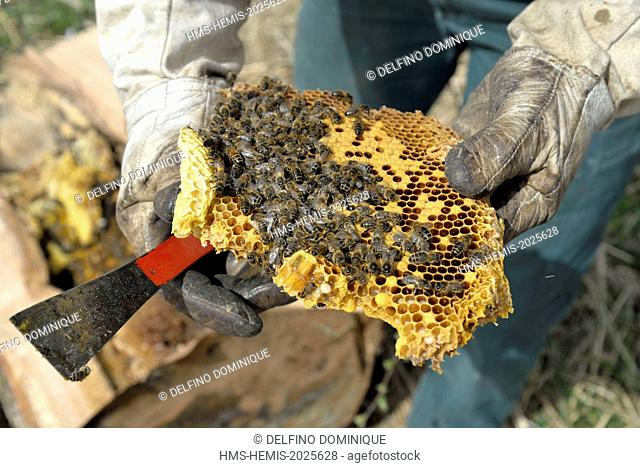 France, Haute Saone, swarm of bees on their forest recovered from the trunk of oak shot down by forest and transferred by a beekeeper brood in a hive