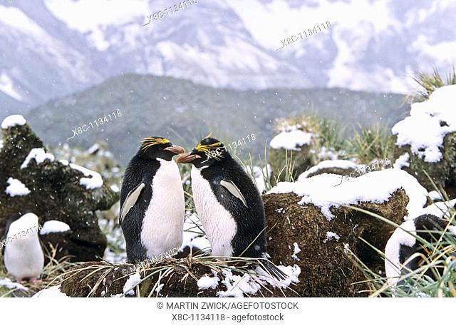 Macaroni Penguin Eudyptes Chrysolophus pair preening each other in colony in tussock gras during snowfall  Antarctica, Subantarctica, South Georgia