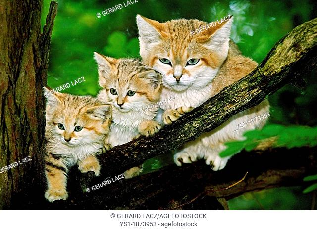 Sand Cat, felis margarita, Mother with Cub standing on Branch