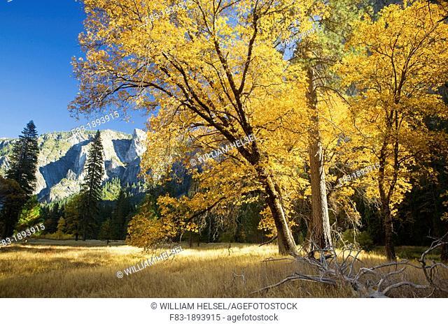 Yosemite Valley, Yosemite National Park, California, USA, El Capitan Meadow, black oak Quercus kelloggii and ponderosa pines Pinus ponderosa, granite cliffs