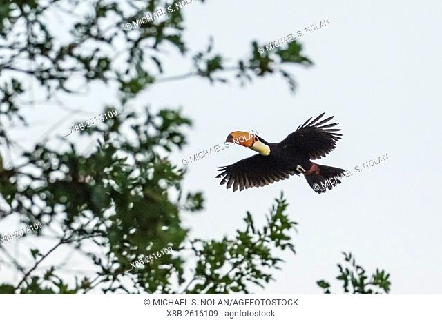 Toco toucan, Ramphastos toco, flying within Iguazú Falls National Park, Misiones, Argentina, South America