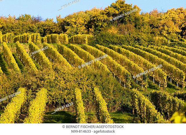 Vineyards and hedgerow, autumn, colours, near Westhalten, cultivated landscape, Alsace, France