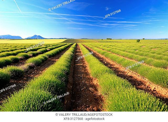 Plateau de Valensole, champs de lavandes au printemps, Alpes de Haute Provence, 04, PACA