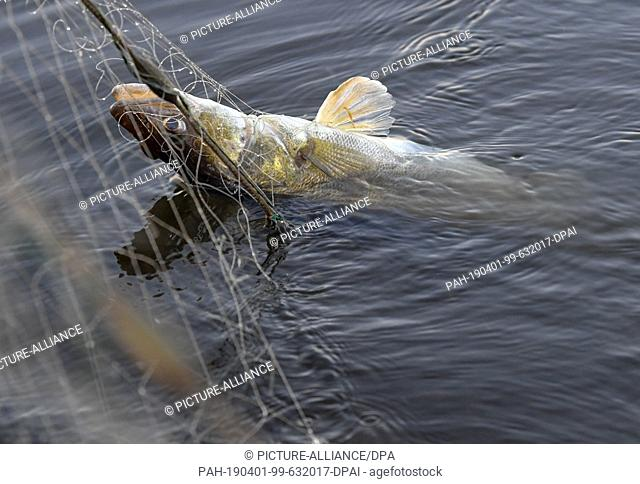 01 April 2019, Brandenburg, Groß Schauen: A zander hangs in the early morning in a gillnet of the fisherman Laszlo Acz from the fishery Köllnitz at the Groß...
