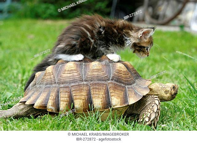 Maine Coon Kitten and African Spurred Tortoise