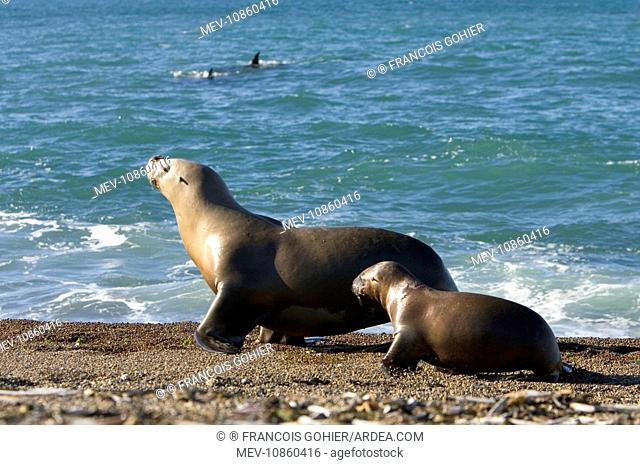 South American / Southern / Patagonian Sealion - To avoid swimming along a stretch of shoreline patrolled by killer whales / Orcas (dorsal fins visible in the...
