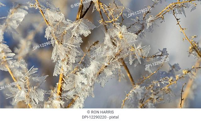 Hoar frost on branches; Alberta, Canada
