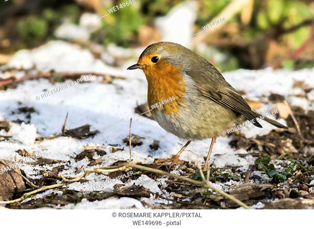 germany, saarland, homburg - A robin redbreast is searching for fodder in the snow