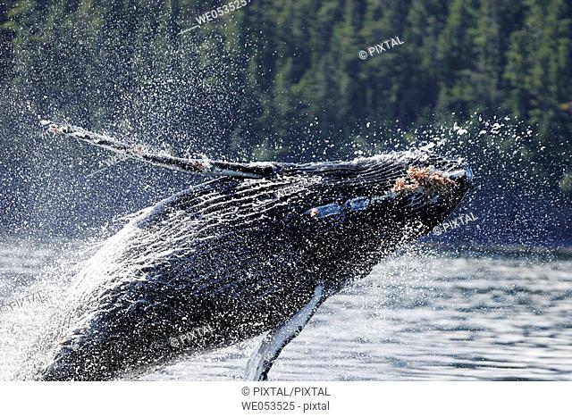Humpback Whale (Megaptera novaeangliae) calf breaching in Southeast Alaska, USA. Pacific Ocean