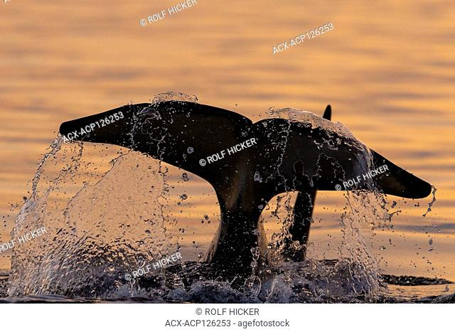 Northern resident killer whale (Orcinus orca) tail splashing near in Queen Charlotte Strait, Broughton Archipelago, First Nations Territory, British Columbia