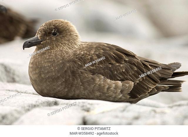 Antarctica, Antarctic Peninsula, Lemaire Channel, Petermann Island, South Polar Skua Stercorarius maccormicki