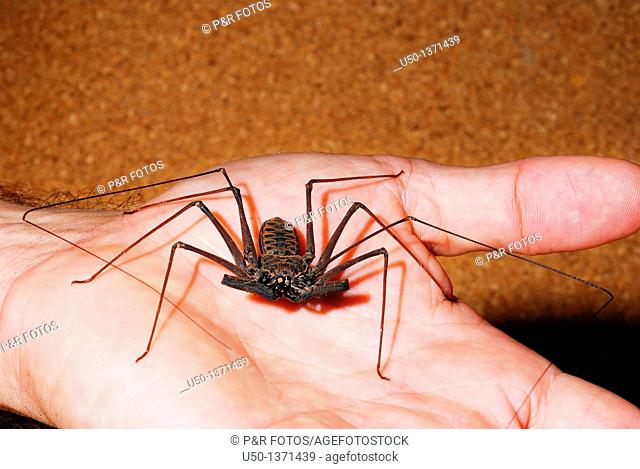 Whip spider, Heterophrynus sp , Arachnida, Amblypygi, Charinidae, Acre, Brazil, 2009  Animal 39mm lenght