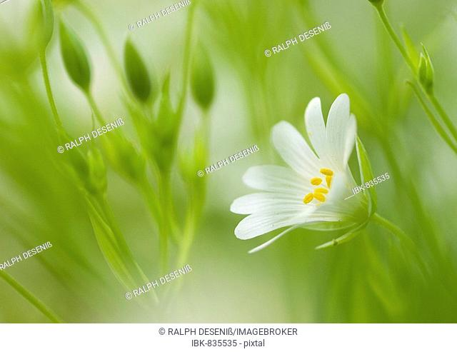 Greater Stitchwort (Stellaria holostea), blossom and buds, Bremen, Germany, Europe