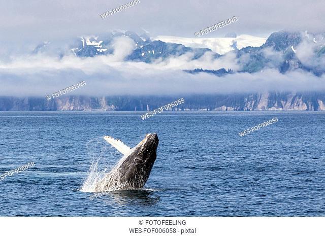 USA, Alaska, Seward, Resurrection Bay, jumping humpback whale (Megaptera novaeangliae)